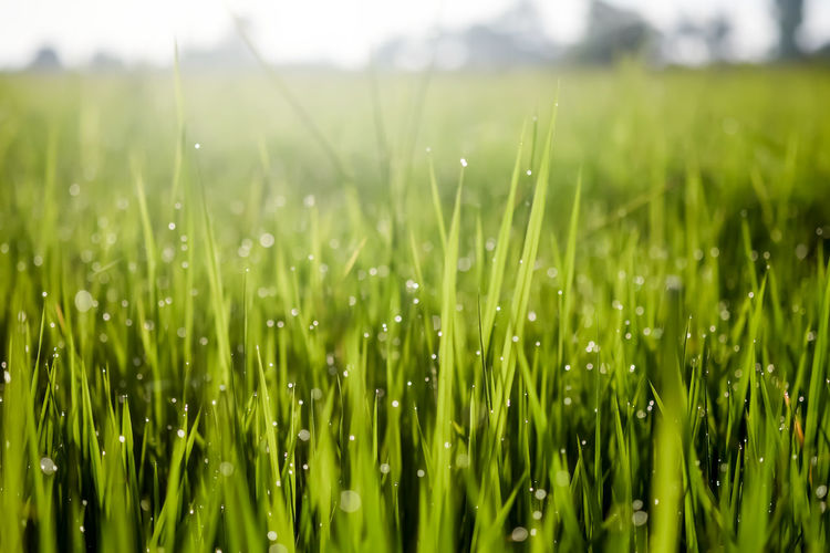 Close-Up Of Wet Grass In Field