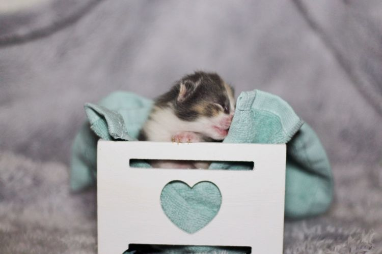 Room For Text Calico Fur Fluffy Pet Baby Kitten Advertisement Cat Domestic Cat Whisker Feline Pets Kitten Domestic Animals Ginger Cat