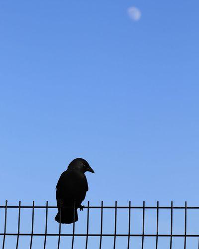 crow and moon