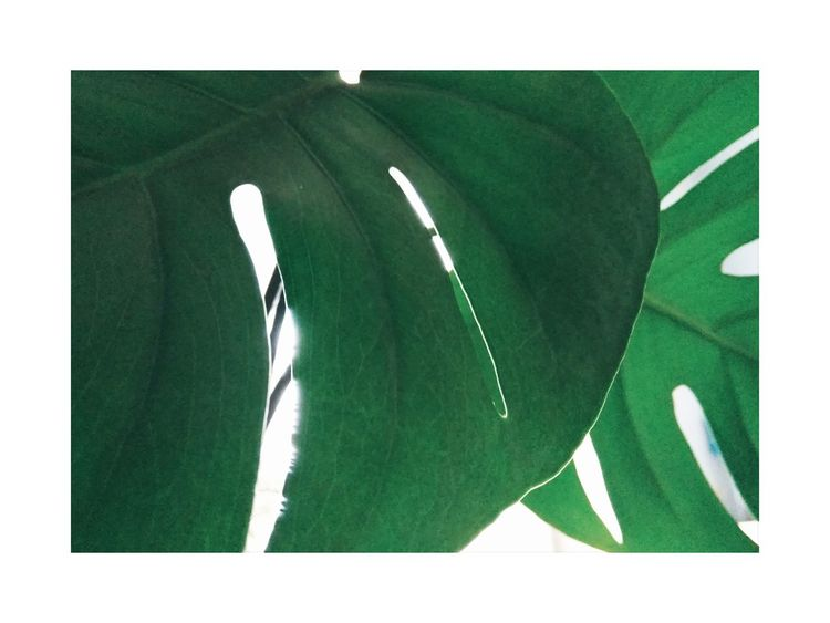 Green Color Sketch Nature Plant Monstera Frame White Color White Frame