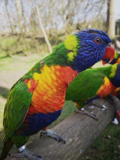 Lori colorful