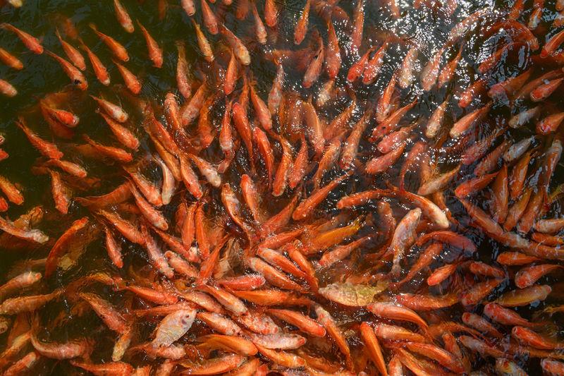 Red tilapia fish farming, tubtim fish economic importance of fish farming
