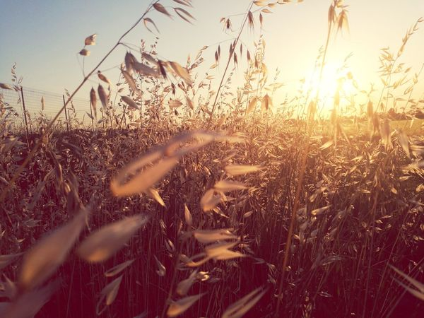 Passeggiando Cereal Plant Agriculture Crop  Growth Nature Field Sunset Rural Scene Plant Beauty In Nature Landscape Farmer Outdoors Summer Gold Gold Colored Clear Sky Sunlight