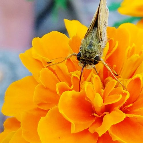 EyeEm Selects marigold flower with a butterfly moth.Middle River Flower Petal Plant Nature Fragility Beauty In Nature Flower Head Close-up Insect Animal Wildlife Uncultivated No People Growth Outdoors Animals In The Wild Day Freshness
