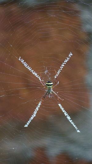 Argiope Anasuja India Nature No People Orb Orb Weaver Spider Rain Forest Spider Spider Web Tropics