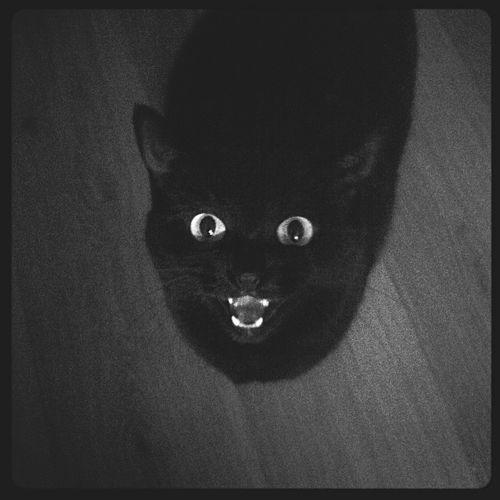 Beautiful Black Cat I'm Hungry  Meow Kitty Cat Talkative Furryfriend I Love My Cat Meow Meow Cats