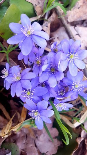 Flower Purple Freshness Fragility Flower Head Beauty In Nature Blooming Nature Blue Spring Flowers Spring Has Arrived Springblossoms Spring 2017 Livewort Liverleaf Hepatica Backgrounds Focus On Foreground Close-up Violet Flowers Violet