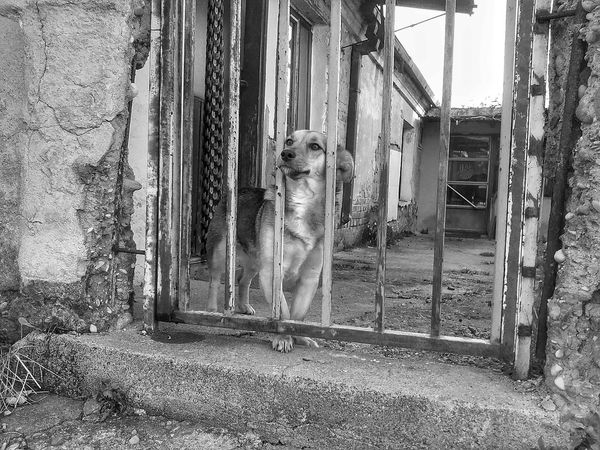 Dog Domestic Animals Animal Animal Themes Pet One Animal Old Old House Ruined Urban Urbanphotography Ruined House Loking Somewhere Pattern Curtain Built Structure Outdoors Close-up Minimalist Architecture Black And White Black & White HDR HDR Black And White Hdr_pics Hdr Photography