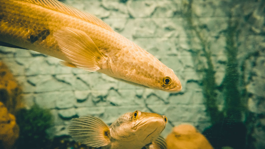 All that glitters is not gold. Animal Animal Eye Animal Head  Animal Themes Animal Wildlife Animals In Captivity Animals In The Wild Aquarium Close-up Fish Marine Nature No People One Animal Sea Sea Life Swimming Underwater Vertebrate Water