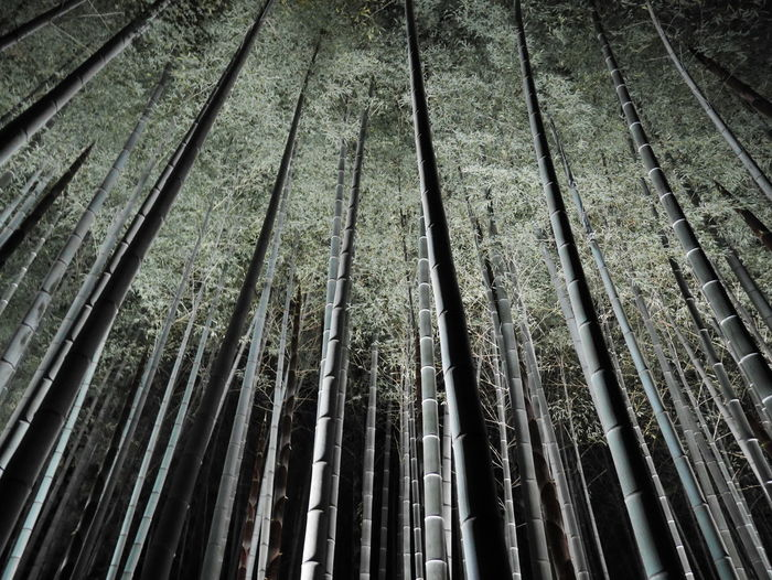 Bamboo Grove Night Lights Nightphotography Silver Grass Take Photos Bamboo Forest Growth Nature Night No People Outdoors Plant Silver