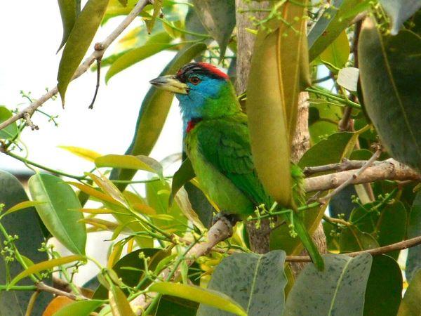 Bird Nature_collection Free Nature Birds_collection Bird Photography Blue Throated Barbet Green Greenery Green Bird