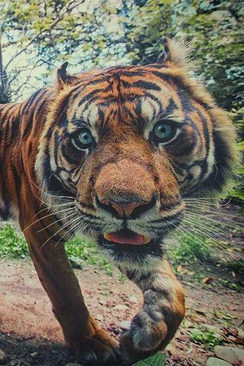 PERFEC  Tiger Hello World