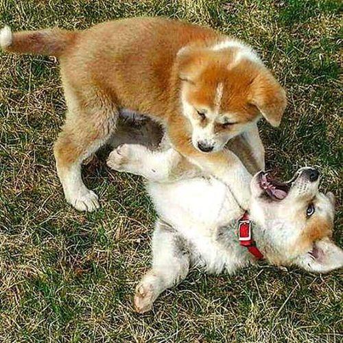 Akitasofinstagram Akitapuppies Hachi Hachiko AKA Playtime Puppies LoveThem  Japaneseakitainu JapaneseAkita Taramae Marksultan