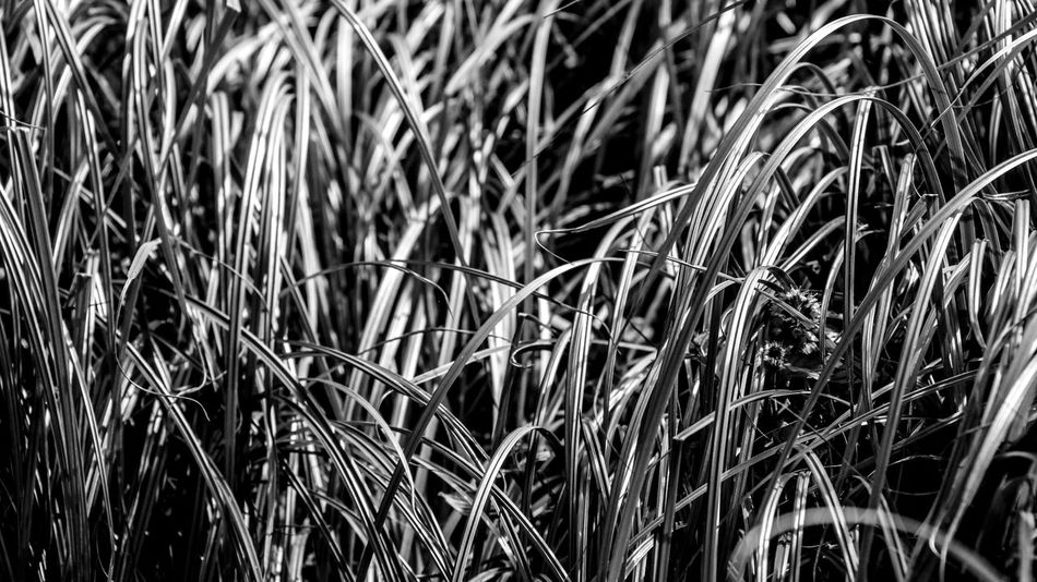 Sheen Shine Backgrounds Close-up Day Full Frame Grass Growth Nature No People Outdoors Plant Reeds Shadow