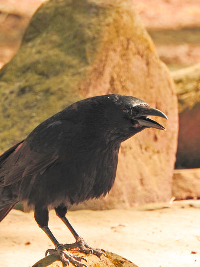 Abraxas Animal Animal Themes Animal Wildlife Animals In The Wild Bird Black Bird Black Color Close-up Crow Day Focus On Foreground Full Length Nature No People One Animal Outdoors Perching Raven - Bird Side View Sunlight Vertebrate Zoology