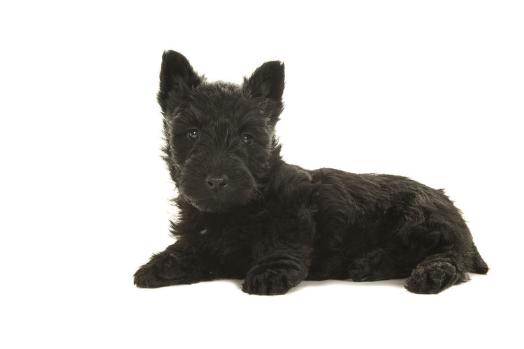 Cute black scottish terrier puppy lying down seen from the side looking at the camera isolated on a white background Scottish Terrier Scottish Terrier Puppy Animal Themes Black Scottish Terrier Black Color Dog Full Length Looking At Camera Lying Down One Animal Pets Puppy Side View Studio Shot White Background