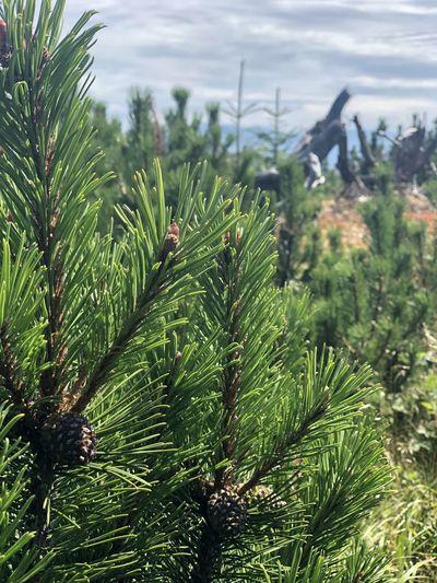 Pine Tree Plant