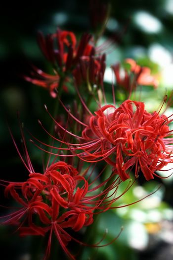 彼岸花 Cluster Amaryllis Flowerporn Macro_collection Nature_collection