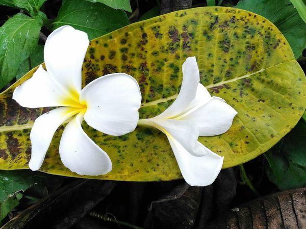 Flower Leaves ดอกไม้ ใบไม้ ใบไม้ร่วง