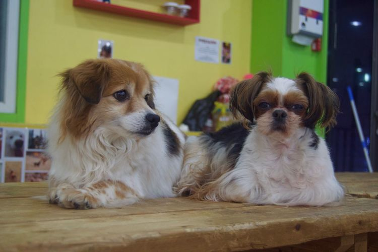 Animal Themes Day Dog Domestic Animals Focus On Foreground Indoors  Mammal No People Pets Puppy Shih Tzu