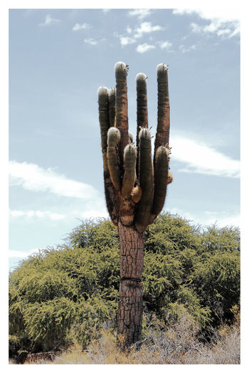 Cactus growing on tree against sky