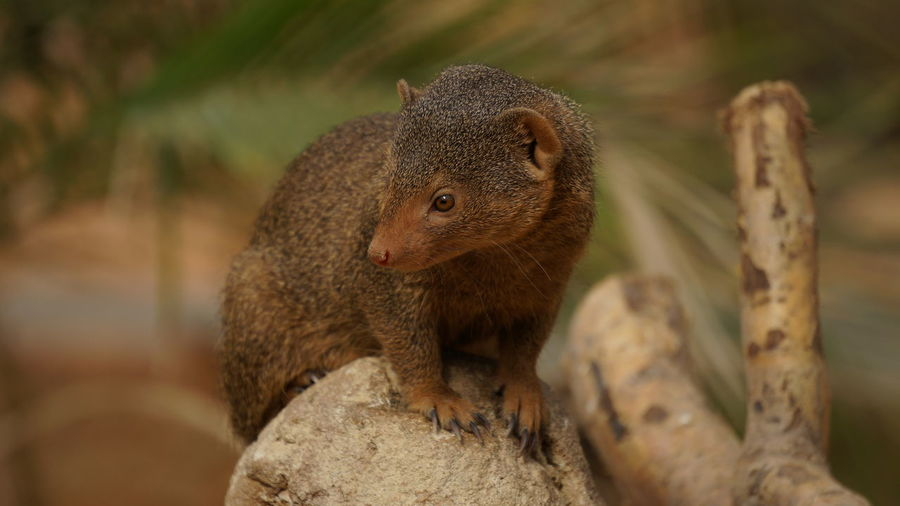 Mongoose Sitting Branch At Forest
