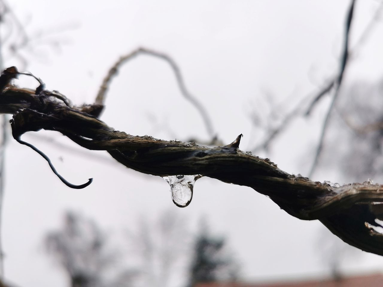 CLOSE-UP OF WATER DROPS ON TWIG