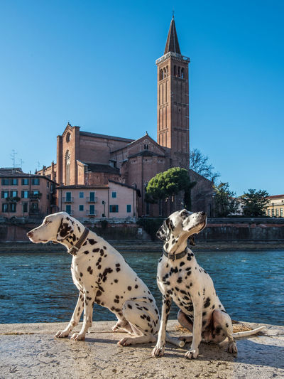 Dalmatian dogs against river and buildings in city