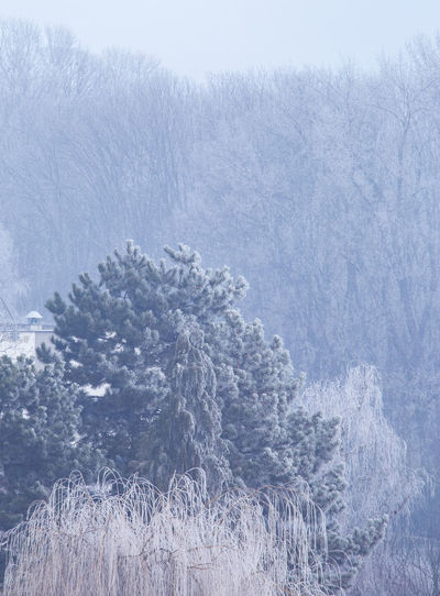 View of pine tree during winter
