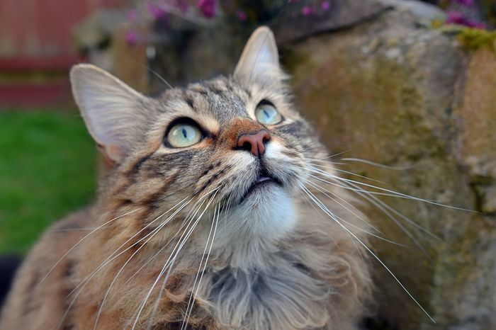 LONG HAIRED CAT GETTING EXCITED WATCHING BIRDS IN THE SKY. Animal Themes Bird Watching Close-up Day Domestic Animals Domestic Cat Feline Fluffy Cat Garden Green Eyes Longhaired Cats Mammal Nature No People One Animal Outdoors Pets Portrait Whisker Wide Eyed