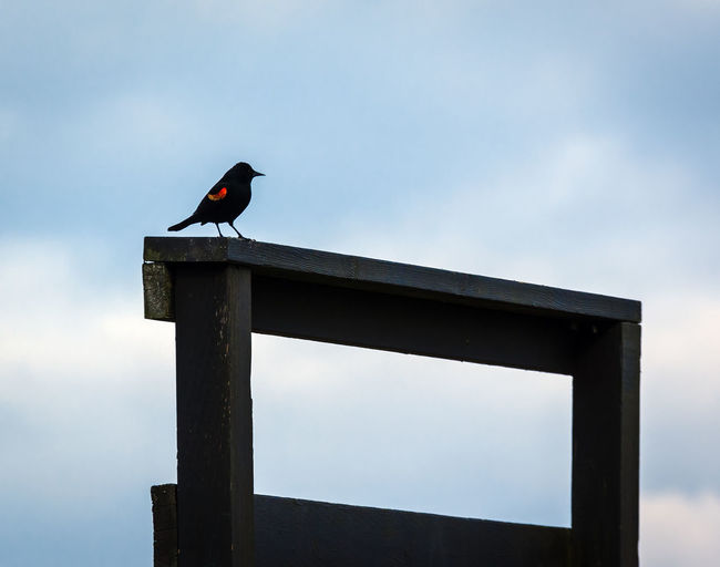 Red Winged Black Bird on a Railing Animal Animal Themes Animal Wildlife Animals In The Wild Architecture Bird Black Color Copy Space Day Low Angle View Nature No People One Animal Outdoors Perching Raven - Bird Sky Vertebrate Wood - Material Zoology