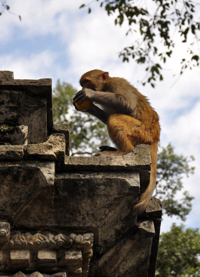 Full length of monkey eating apple on retaining wall at temple