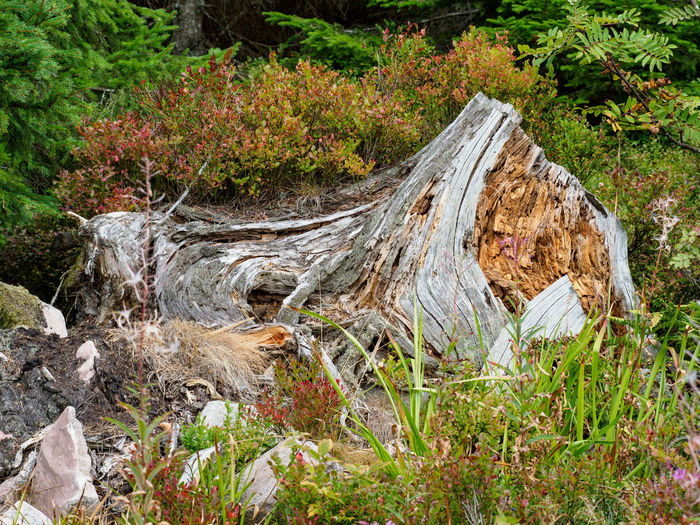 High angle view of driftwood on tree stump in forest