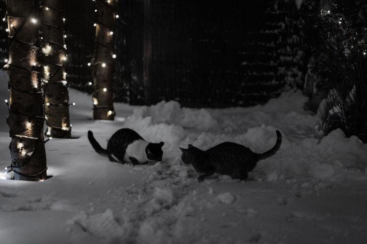 Trees Illuminated Nightphotography Animal Themes Animals Cat Cats Fairy Lights Lights Christmas Lights Dark Snow Snowing Cold Temperature Winter Light