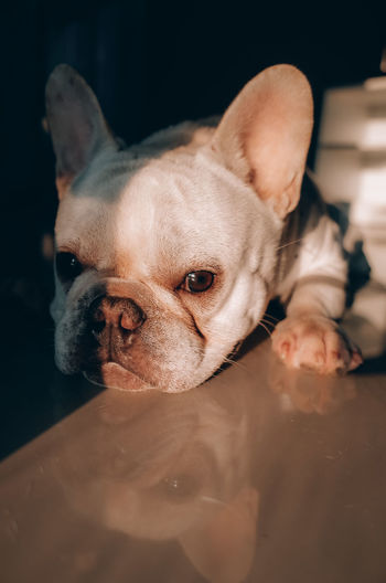 Little frenchie nap with sunlight at home