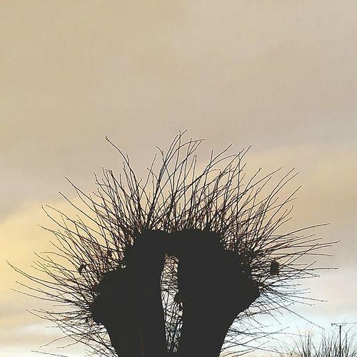Tree Pruned Pruned Trees Sky Skeletal