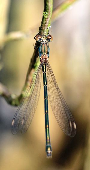 Dragonfly Libelle In My Garden