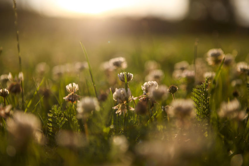 Beauty In Nature Botany Close-up Dandelion Field Flower Fragility Freshness Grass Green Green Color Growth In Bloom Meadow Nature New Life Plant Rural Scene Scenics Selective Focus Springtime Stem Surface Level Tranquil Scene Tranquility