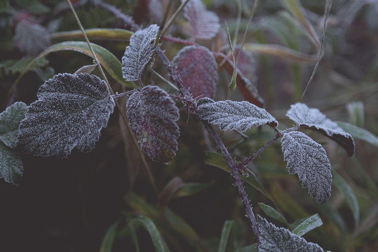 Morning frost. Close-up Growth Leaf Plant Part Plant Focus On Foreground Winter Cold Temperature Frost Outdoors Leaves