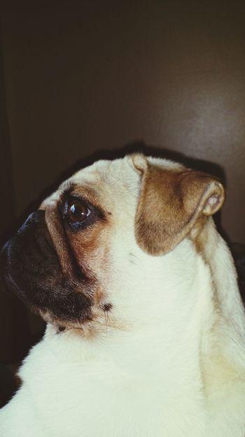 Selfie ✌ Hello World Pug Love Enjoying Life Mydog♡ Spoiled Rotten Pug Life  Ilovemypug 👑King Spoiled Dog