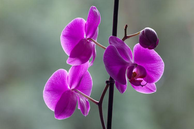 Orchidee Phalaenopsis Vandeae Aeridinae Asparagales Epidendroideae Orchidaceaeflower Phalaenopsis Orchid Beauty In Nature Flower Flower Head Flowering Plant Fragility Freshness Knabenkraut Nature Orchid Orchidaceae Phalaenopsis Pink Color Plant Purple