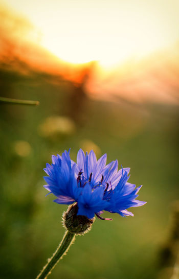 Cornflower. Beauty In Nature Blooming Bokeh Close-up Day Flower Flower Head Fragility Freshness Growth Macro Nature No People Outdoors Petal Plant Sky Sunset