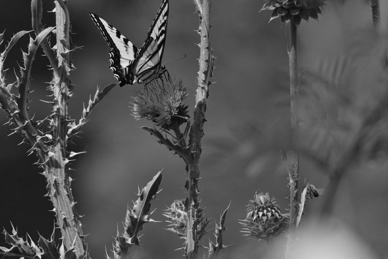 Butterfly Wild Flower Outdoor Photography Nature_collection EyeEm Best Shots EyeEm Nature Lover Eye4photography  Blackandwhite Blackandwhite Photography Eyem4phptography Eyem Nature Lover Eyem Best Shots One Animal Nature Animals In The Wild Focus On Foreground Insect Outdoors Day Beauty In Nature Close-up