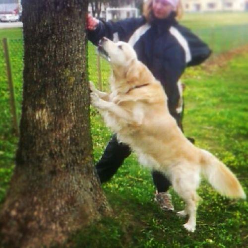 Hverdagsglimt 4/5, baby skal lære å klatre i trær ♥ Dog Melsomvgs Hund Goldenretriever bestboy randiii myboy goodboy ilupilu @fannybacke er nesteMANN :*