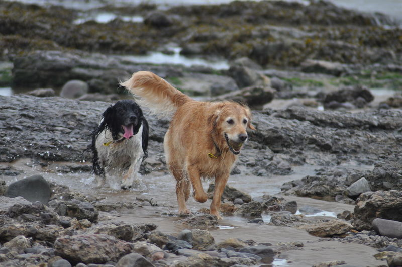 Dogs playing on rocky shore