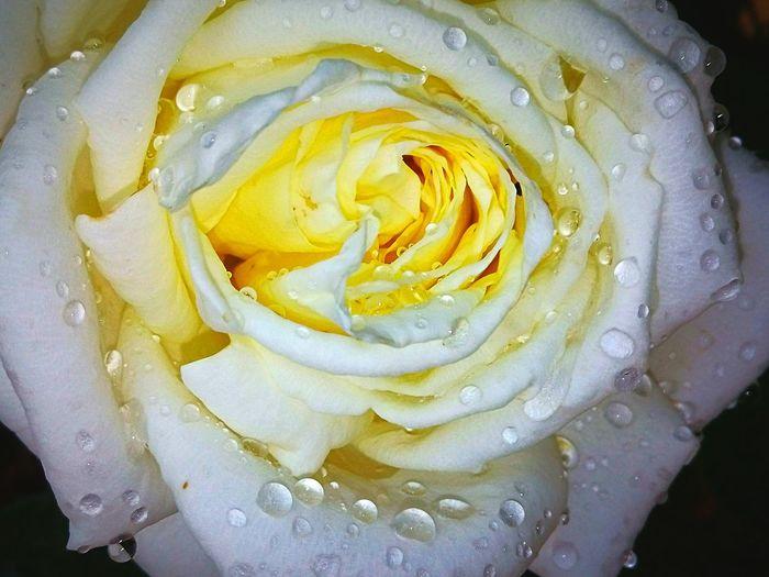 Rosa de Primavera. Yellow Food And Drink The Creative - 2018 EyeEm Awards EyeEmNewHere