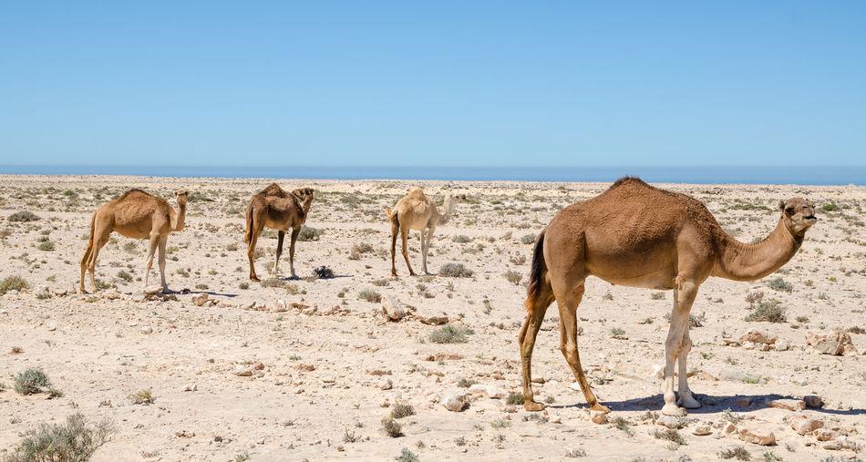 Giraffe Standing On Sand At Beach Against Clear Sky