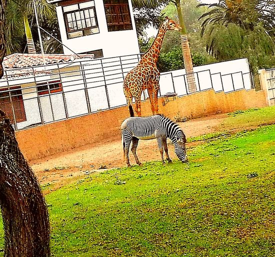 Animales Grass