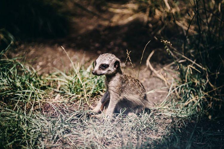 Baby meerkat sitting in clearing field