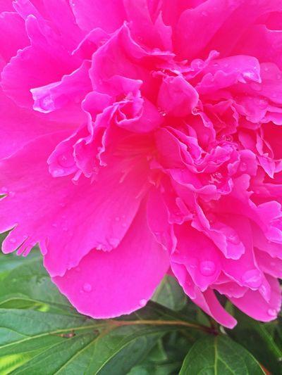 😍😍🌸 Peonies EyeEm Nature Lover The Flowers Series Flowers Flowerporn Garden Flower Collection Flowers,Plants & Garden Spring Flowers In Between The Flowers~entre Las Flores